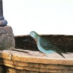 Leonardo, Pigeon of Siena